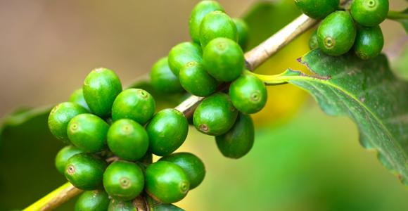 أنقص وزنك مع القهوة الخضراء !